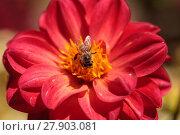 Купить «Red Dahlia flower called Fascination with a honeybee, Apis mellifera», фото № 27903081, снято 5 июля 2020 г. (c) PantherMedia / Фотобанк Лори