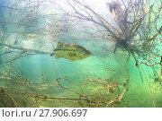 Купить «Largemouth bass (Micropterus salmoides) Rio Ebro, Spain, April.», фото № 27906697, снято 24 апреля 2018 г. (c) Nature Picture Library / Фотобанк Лори