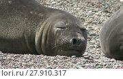 Купить «Sleeping fur seal close-up. Punta Ninfas place, Argentina», видеоролик № 27910317, снято 6 февраля 2015 г. (c) Алексей Кузнецов / Фотобанк Лори