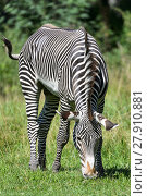 Купить «zebra on meadow», фото № 27910881, снято 26 марта 2019 г. (c) PantherMedia / Фотобанк Лори