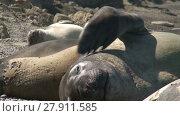 Купить «Argentinean fur seal scratching his neck. Punta Ninfas place», видеоролик № 27911585, снято 10 февраля 2015 г. (c) Алексей Кузнецов / Фотобанк Лори