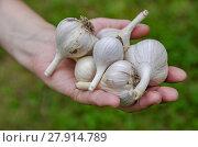 Купить «Garlic vegetable garden», фото № 27914789, снято 16 октября 2018 г. (c) PantherMedia / Фотобанк Лори