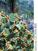 Купить «Smile Opuntia ficus-indica», фото № 27919409, снято 17 декабря 2018 г. (c) PantherMedia / Фотобанк Лори