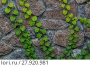 Купить «Green ivy climbs on brick wall-  background», фото № 27920981, снято 19 октября 2019 г. (c) PantherMedia / Фотобанк Лори