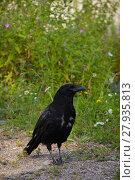 Купить «crow in the moult», фото № 27935813, снято 25 мая 2019 г. (c) PantherMedia / Фотобанк Лори