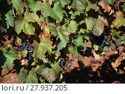 Купить «grapes,grapes,berries,wine,white wine,red wine,vines,tendrils», фото № 27937205, снято 23 мая 2018 г. (c) PantherMedia / Фотобанк Лори