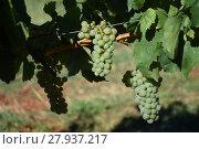 Купить «grapes,grapes,berries,wine,white wine,red wine,vines,tendrils», фото № 27937217, снято 16 октября 2018 г. (c) PantherMedia / Фотобанк Лори