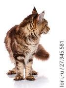 Купить «brown Maine Coon standing on four legs, white background», фото № 27945581, снято 18 февраля 2019 г. (c) PantherMedia / Фотобанк Лори