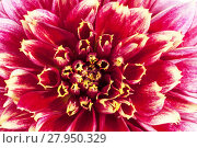 Купить «Background of red flower of aster , close up», фото № 27950329, снято 15 августа 2018 г. (c) PantherMedia / Фотобанк Лори