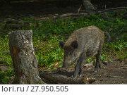 Купить «wild boar in the undergrowth», фото № 27950505, снято 15 января 2019 г. (c) PantherMedia / Фотобанк Лори