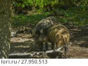 Купить «wild boar in the undergrowth», фото № 27950513, снято 15 января 2019 г. (c) PantherMedia / Фотобанк Лори