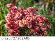 Купить «Садовые хризантемы осенью», фото № 27952685, снято 28 сентября 2014 г. (c) Ольга Сейфутдинова / Фотобанк Лори