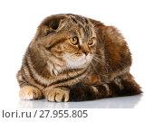 Купить «Scottish fold cat bicolor stripes isolated on white background», фото № 27955805, снято 22 февраля 2018 г. (c) PantherMedia / Фотобанк Лори