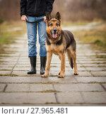Купить «Master and her obedient (German shepherd) dog», фото № 27965481, снято 27 апреля 2018 г. (c) PantherMedia / Фотобанк Лори