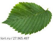 Купить «fresh leaf of Elm tree isolated», фото № 27965497, снято 25 мая 2018 г. (c) PantherMedia / Фотобанк Лори