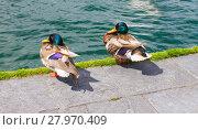 Купить «The two ducks at lakeside walk way in Geneva, Switzerland.», фото № 27970409, снято 23 ноября 2019 г. (c) PantherMedia / Фотобанк Лори
