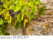 Купить «Red grapes on stone wall background», фото № 27973317, снято 17 февраля 2019 г. (c) PantherMedia / Фотобанк Лори
