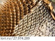 Купить «closeup of sunflower seeds», фото № 27974289, снято 23 апреля 2019 г. (c) PantherMedia / Фотобанк Лори