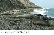 Купить «Seal rookery on the coastline of Atlantic Ocean. Punta Ninfas place, Argentina», видеоролик № 27976721, снято 14 января 2015 г. (c) Алексей Кузнецов / Фотобанк Лори