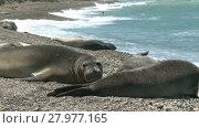Купить «Seal rookery lying on the coastline of Atlantic Ocean. Argentina», видеоролик № 27977165, снято 19 января 2015 г. (c) Алексей Кузнецов / Фотобанк Лори