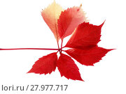 Купить «Leaf of parthenocissus in autumnal colors on white background», фото № 27977717, снято 17 февраля 2019 г. (c) PantherMedia / Фотобанк Лори