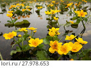 Купить «Spring yellow marigolds», фото № 27978653, снято 23 июля 2019 г. (c) PantherMedia / Фотобанк Лори