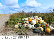 Купить «harvest of pumpkins in the kitchen garden», фото № 27980117, снято 17 февраля 2019 г. (c) PantherMedia / Фотобанк Лори