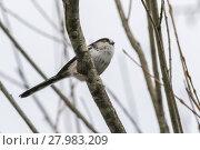 Купить «long-tailed tit (aegithalos caudatus)», фото № 27983209, снято 23 ноября 2019 г. (c) PantherMedia / Фотобанк Лори