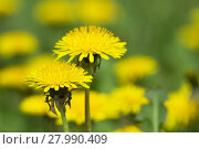 Купить «yellow dandelions on green meadow 1», фото № 27990409, снято 22 января 2019 г. (c) PantherMedia / Фотобанк Лори