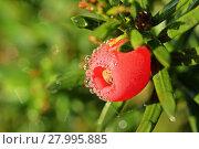 Купить «female yew (taxus baccata) with dewed fruits», фото № 27995885, снято 17 сентября 2019 г. (c) PantherMedia / Фотобанк Лори