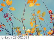 Купить «Fall tree leafs against blue sky», фото № 28002381, снято 27 апреля 2018 г. (c) PantherMedia / Фотобанк Лори