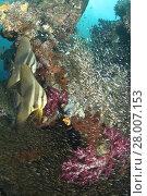 Купить «coral life diving Indonesia Sea Ocean», фото № 28007153, снято 21 июня 2018 г. (c) PantherMedia / Фотобанк Лори