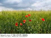 Купить «Маки на поле зеленой пшеницы», фото № 28015889, снято 24 мая 2016 г. (c) Ольга Сейфутдинова / Фотобанк Лори