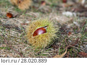 Купить «Sweet Chestnut on Ground», фото № 28020889, снято 23 апреля 2019 г. (c) PantherMedia / Фотобанк Лори
