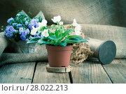 Купить «saintpaulias flowers in paper packaging,on wood background», фото № 28022213, снято 9 июля 2020 г. (c) PantherMedia / Фотобанк Лори