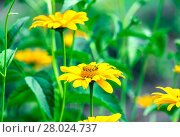 Купить «sun-eye flowers (heliopsis)», фото № 28024737, снято 14 ноября 2018 г. (c) PantherMedia / Фотобанк Лори