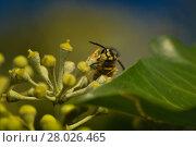 Купить «wasp nibbling at efeublüte», фото № 28026465, снято 23 апреля 2019 г. (c) PantherMedia / Фотобанк Лори