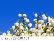 Купить «Forest lily of the valley close-up», фото № 28030101, снято 20 августа 2018 г. (c) PantherMedia / Фотобанк Лори