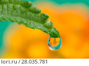 Купить «Flower refraction in a dew drop on a green leaf», фото № 28035781, снято 23 апреля 2018 г. (c) PantherMedia / Фотобанк Лори