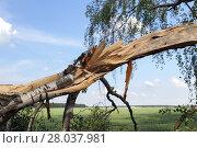 Купить «broken birch trees», фото № 28037981, снято 17 января 2019 г. (c) PantherMedia / Фотобанк Лори