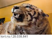 Купить «Tiger taxidermy.», фото № 28038841, снято 19 февраля 2019 г. (c) PantherMedia / Фотобанк Лори