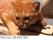 Купить «the south american weasel cat jaguarundi», фото № 28041561, снято 20 августа 2018 г. (c) PantherMedia / Фотобанк Лори