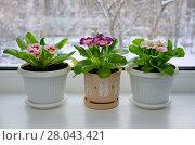 Купить «Примулы (лат. Primula vulgaris) в горшках на подоконнике зимой», фото № 28043421, снято 18 февраля 2018 г. (c) Елена Коромыслова / Фотобанк Лори