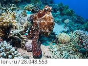 Купить «Day octopus (Octopus cyanea), Red Sea, Egypt. January.», фото № 28048553, снято 22 июля 2018 г. (c) Nature Picture Library / Фотобанк Лори