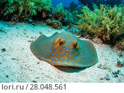 Купить «Bluespotted ribbontail ray (Taeniura lymna), Red Sea, Egypt. January.», фото № 28048561, снято 22 июля 2018 г. (c) Nature Picture Library / Фотобанк Лори