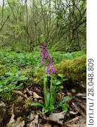 Купить «Early purple orchid (Orchis mascula) in woodland, Clare Glen, County Armagh, Northern Ireland, April.», фото № 28048809, снято 20 апреля 2018 г. (c) Nature Picture Library / Фотобанк Лори