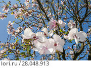 Купить «Magnolia (Magnolia sp) flowers in spring, in garden.», фото № 28048913, снято 15 октября 2018 г. (c) Nature Picture Library / Фотобанк Лори