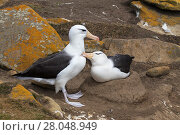 Купить «Black-browed albatross (Thalassarche melanophrys) pair at nest mutual preening, Saunders Island, Falkland Islands, November.», фото № 28048949, снято 25 марта 2019 г. (c) Nature Picture Library / Фотобанк Лори
