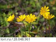 Купить «Yellow anemone (Anemone palmata) flowers, Alentejo region, Portugal, February.», фото № 28048961, снято 20 мая 2019 г. (c) Nature Picture Library / Фотобанк Лори