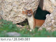 Купить «Mountain weasel (Mustela altaica) portrait, Sanjiangyuan National Nature Reserve, Qinghai Hoh Xil UNESCO World Heritage Site, Qinghai-Tibet Plateau, Qinghai Province, China.», фото № 28049081, снято 22 мая 2018 г. (c) Nature Picture Library / Фотобанк Лори